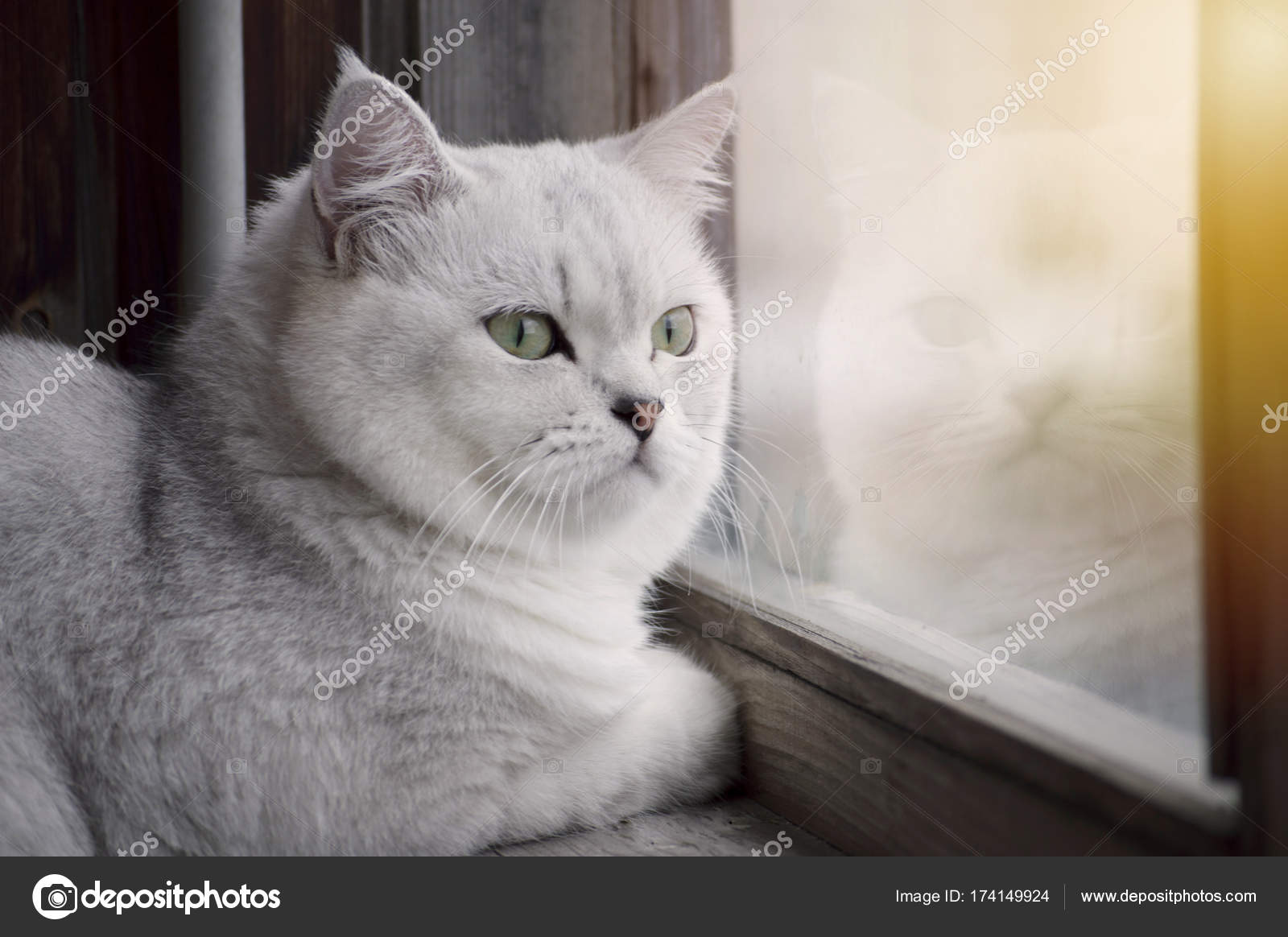 Piękny Biały Kot Brytyjski Z Zielonymi Oczami Oglądania Stree