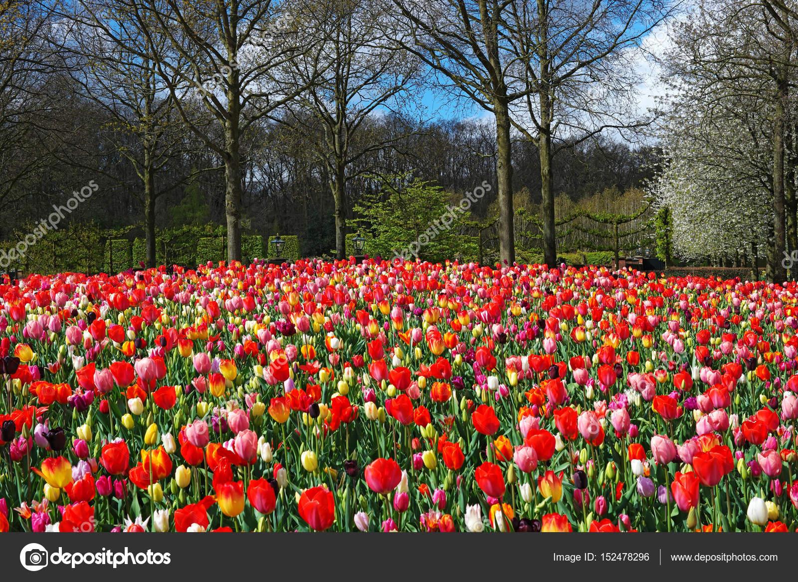 Kleurrijke tulpen in de keukenhof tuin nederland u stockfoto