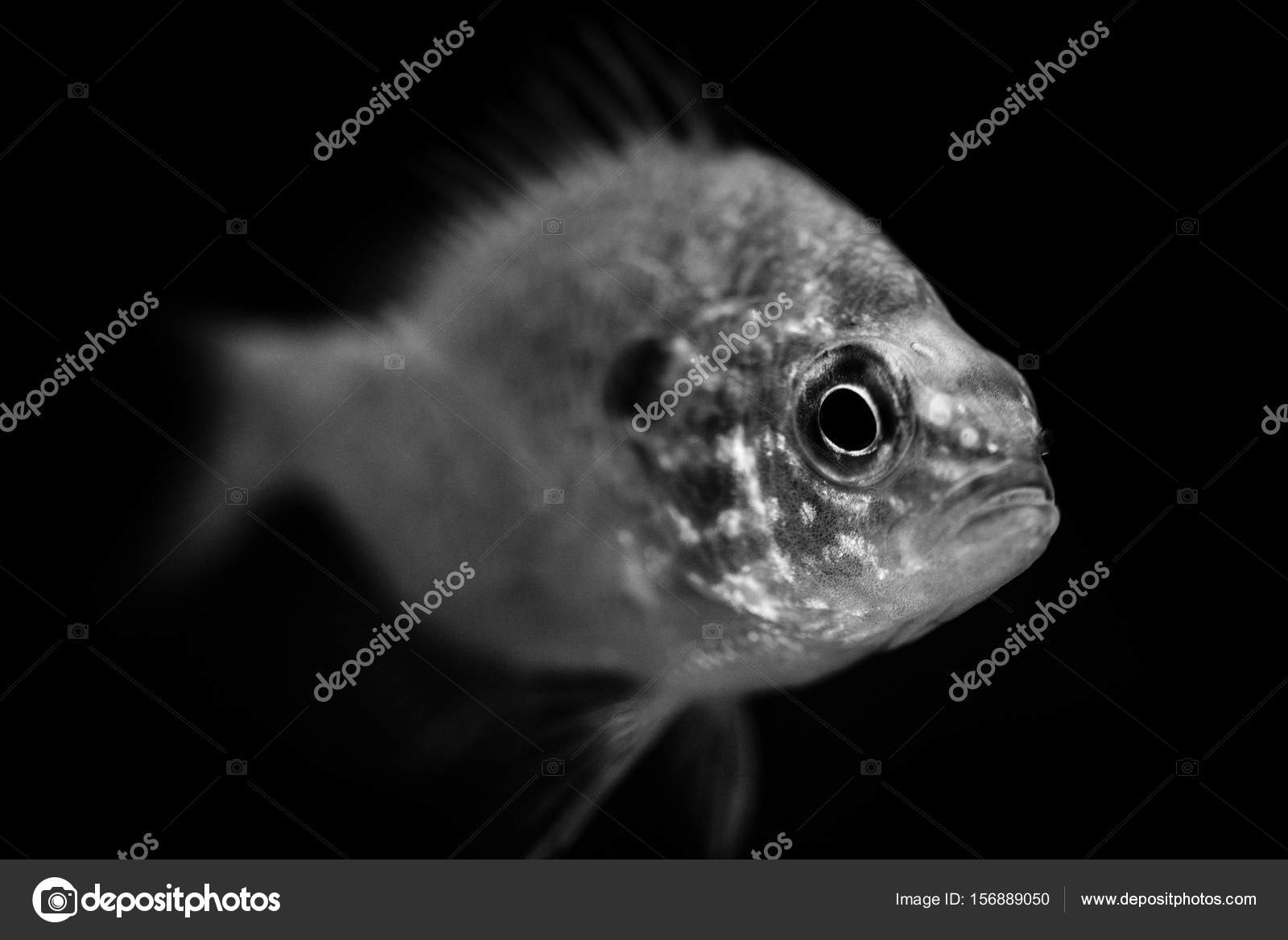 Fish black and white animals portraits stock photo