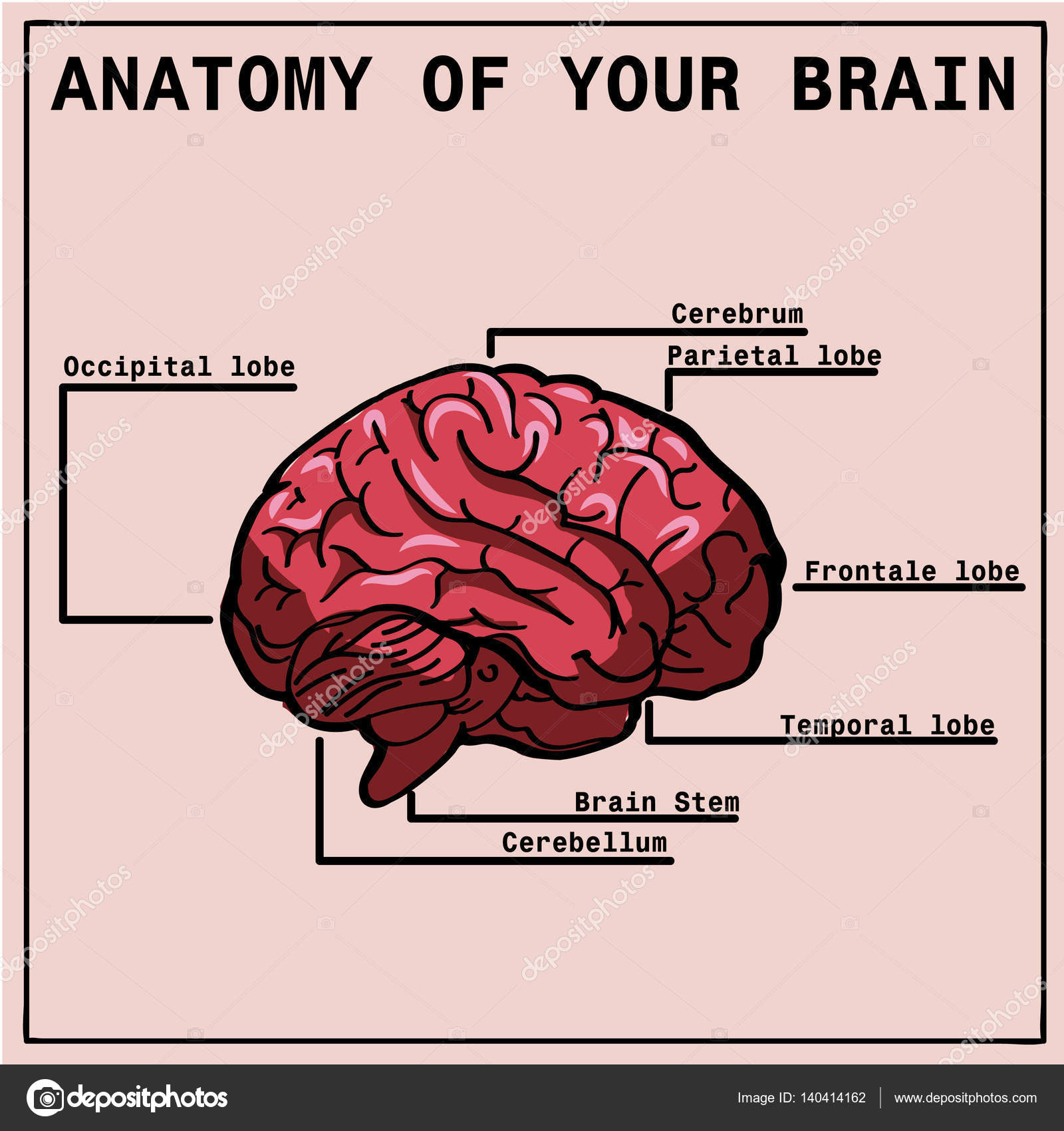 Anatomy Of The Brain Infographics Stock Vector Enotmutant