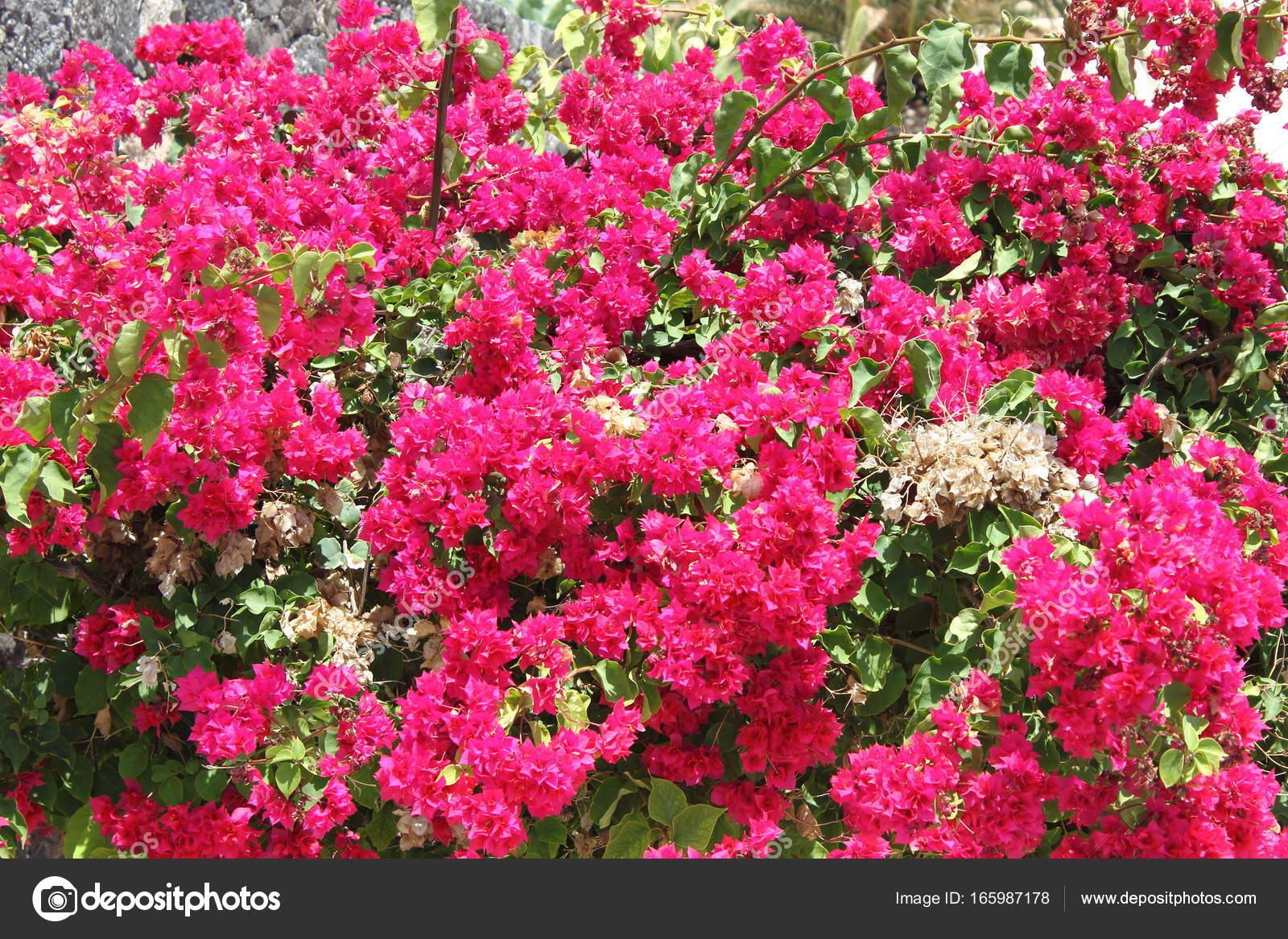 gros plan fleurs bougainvillier rose — photographie alessandro0770