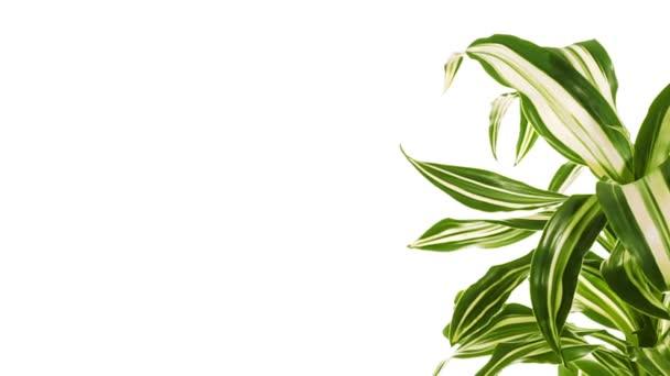 Rotující rostlina s kopie prostoru. Izolované na bílém