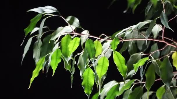 Ficus di pianta verde su sfondo nero.