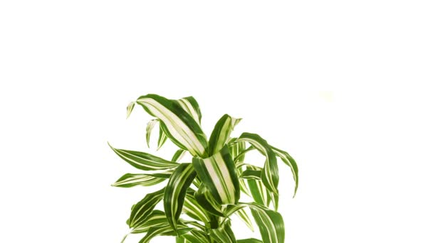 Rotating plant dracaena isolated on white background.