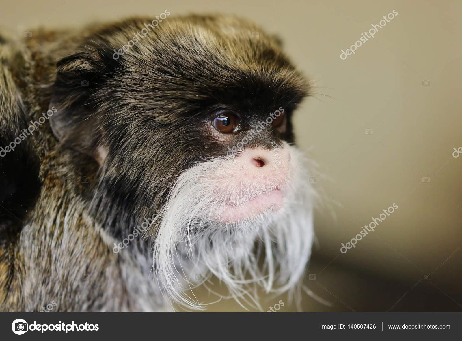 Bezaubernd Haustier Affe Foto Von Kaiser Tamarin — Stockfoto
