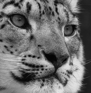 Snow Leopard portrait in black and white