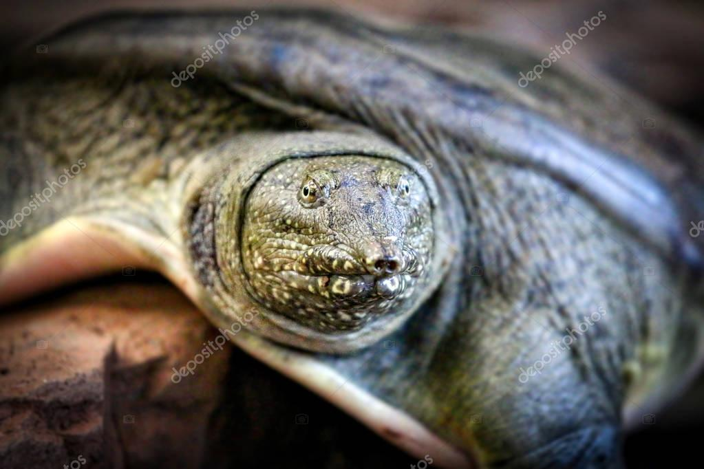 Soft Shell Turtle close up