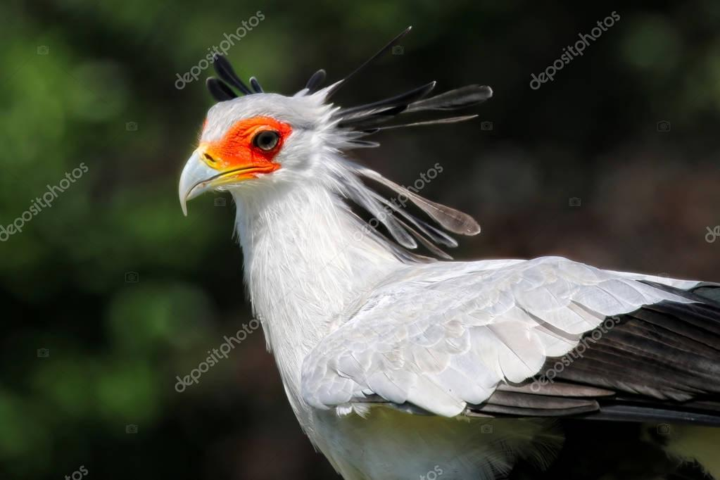 Large Secretary bird from the side