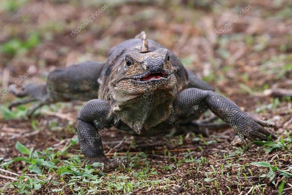 Iguana running straight ahead
