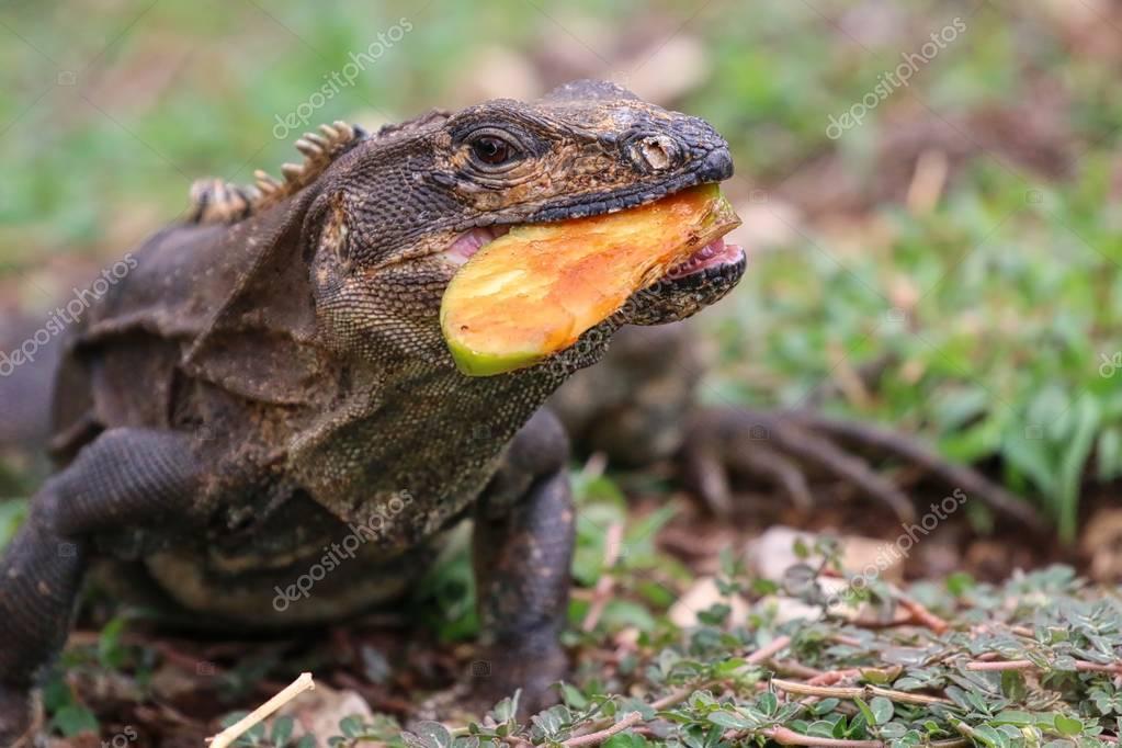 Iguana eating an apple