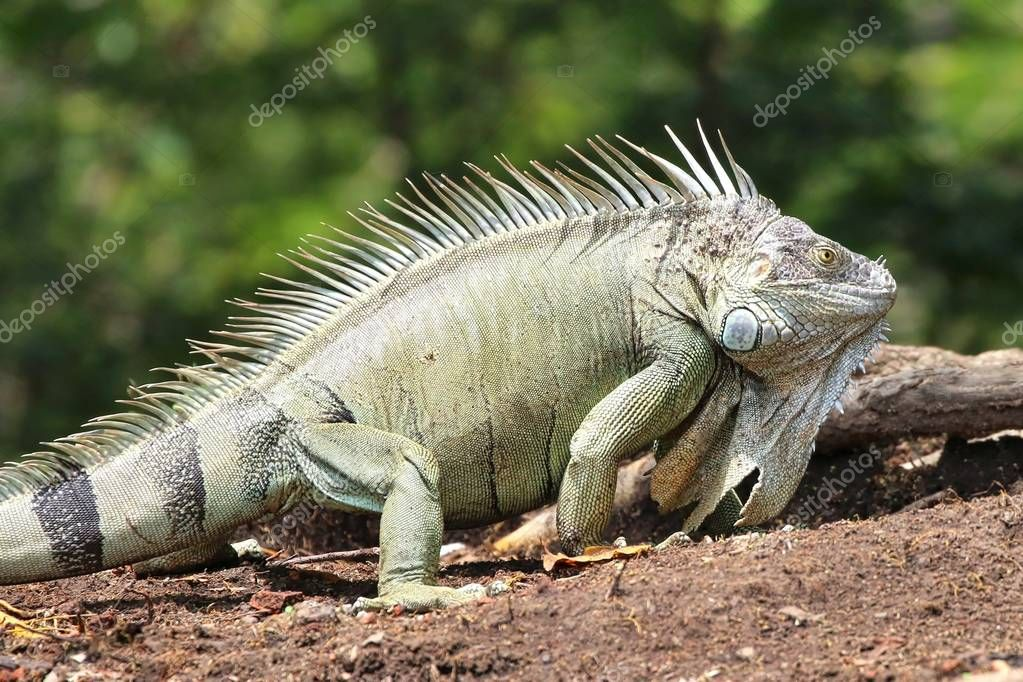 Iguana on the ground