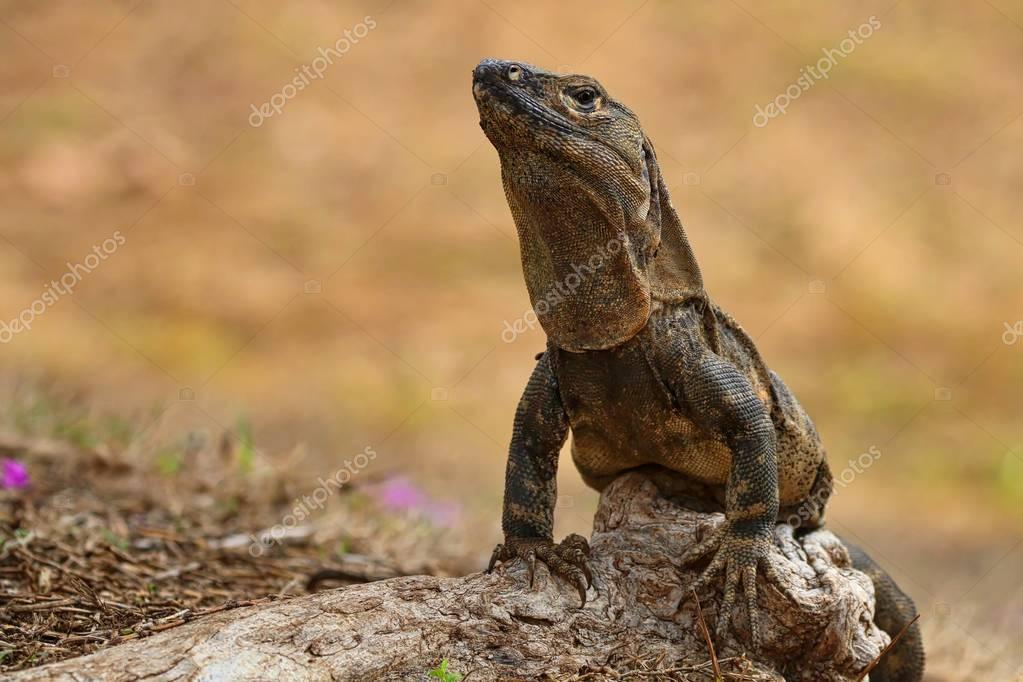 Iguana on the ground