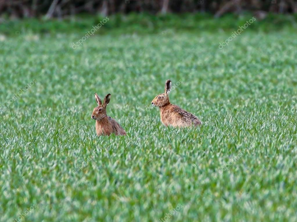 Spring Hares in a field