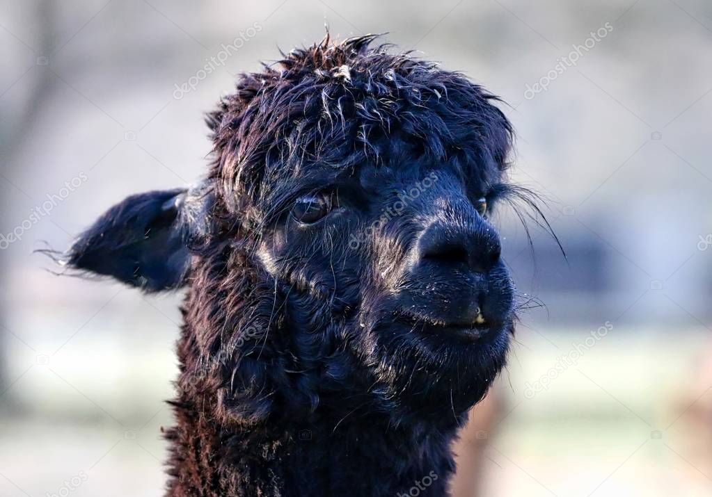 Close up of an Alpaca in a field