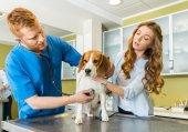 Vyšetřující lékař Beagle pes na klinice