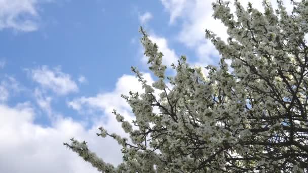 Větve stromů s bílými květy se kolébají proti modré obloze. Jarní pozadí, kvetoucí jablko nebo švestka. Kolem lítá hmyz a sbírá nektar nebo pyl. Kopírovat prostor pro text. Zpomalené video.