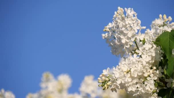 Kvetoucí větev a strom z bílého šeříku na pozadí jasně modré oblohy. Jarní krajina s kyticí jemných květin. Kolem květů bílého šeříku létá hmyz. Zpomalené video.
