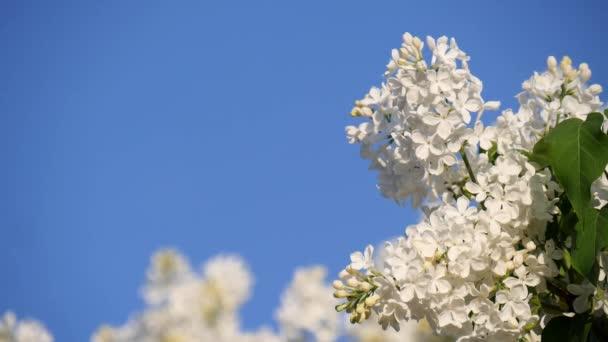 Virágzó ág és egy fehér orgona fa közeledik a kék égbolthoz. Tavaszi táj egy csokor virággal. A fehér orgona virágai körül rovarok röpködnek. Lassított mozgású videó.