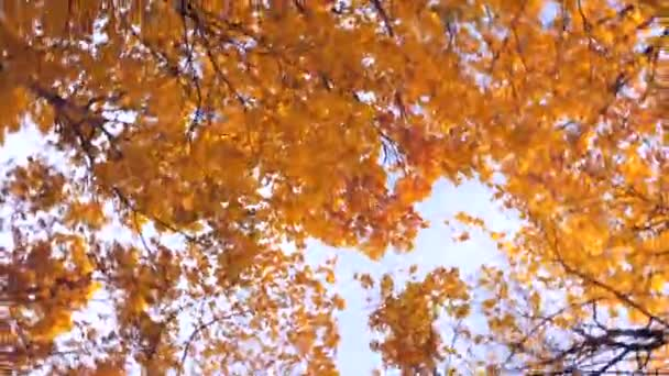 Autumn Leaves Swirl. A spinning view of fall colors. Vertigo, Dizzy. Colorful fall trees blurred in a circle by turning the camera during. Hallucination and nausea. Autumn depression. Toned video