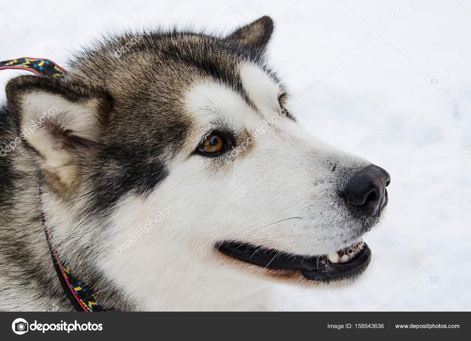 Pes sideview detailní portrét. Plemene Aljašský malamut. Rozostřený sníh  pozadí — Fotografie od OlhaPashkovska 8920dca734