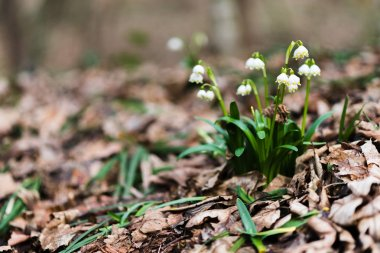 Galanthus nivalis ashore of forest creek, first spring flowers, nature