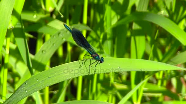Fialový vážka na zelené trávě