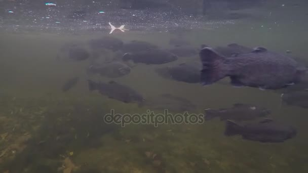 Shoal of rainbow trout underwater
