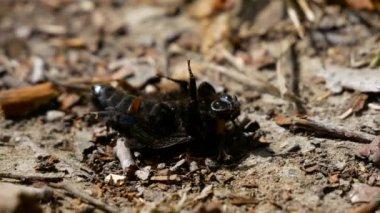 Several ants eats beatle