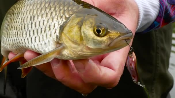 Říční tloušť ryby a rybaření lure lžíce