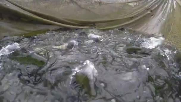 Szivárványos pisztráng hal keltetőben