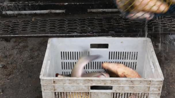 Rybaření na trhu. Zrcadlový kaprů v poli