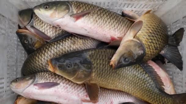 Zblízka živých společné a grass carp ryb