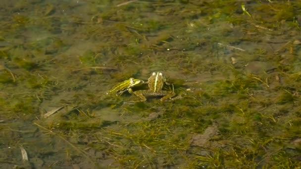 Zwei grüne Frösche im Wasser
