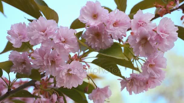 Pobočka japonské třešně. Krásné přírodní scéna s kvetoucí strom sakura