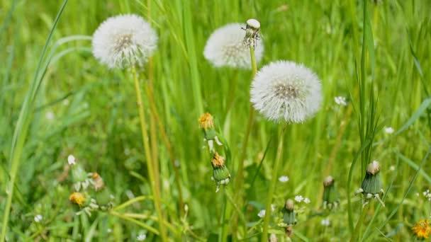 Zelené pastviny s bílými pampelišky. Letní pozadí koncepce.