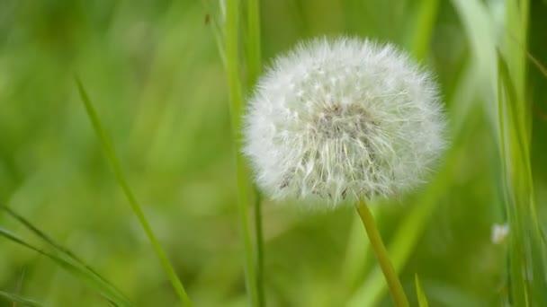 Krásné bílé blowball. Pampelišky foukané větrem.