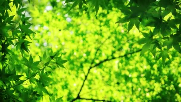 Japanese maple tree in sunny day, natural background. 4K resolution.