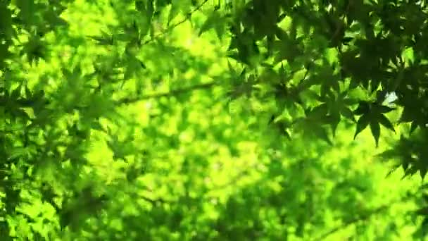 Japanese maple tree moving in the wind, natural background. 4K resolution.