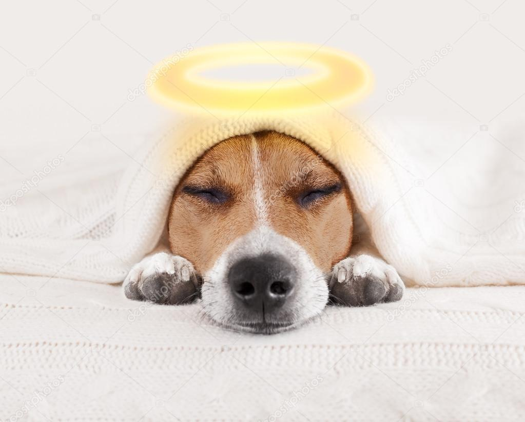 Vendredi 4 janvier Depositphotos_125530898-stock-photo-sleeping-angel-halo-dog-in