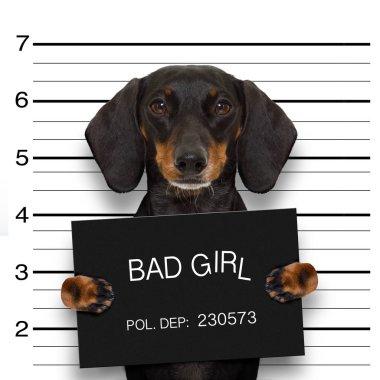 dachshund police mugshot