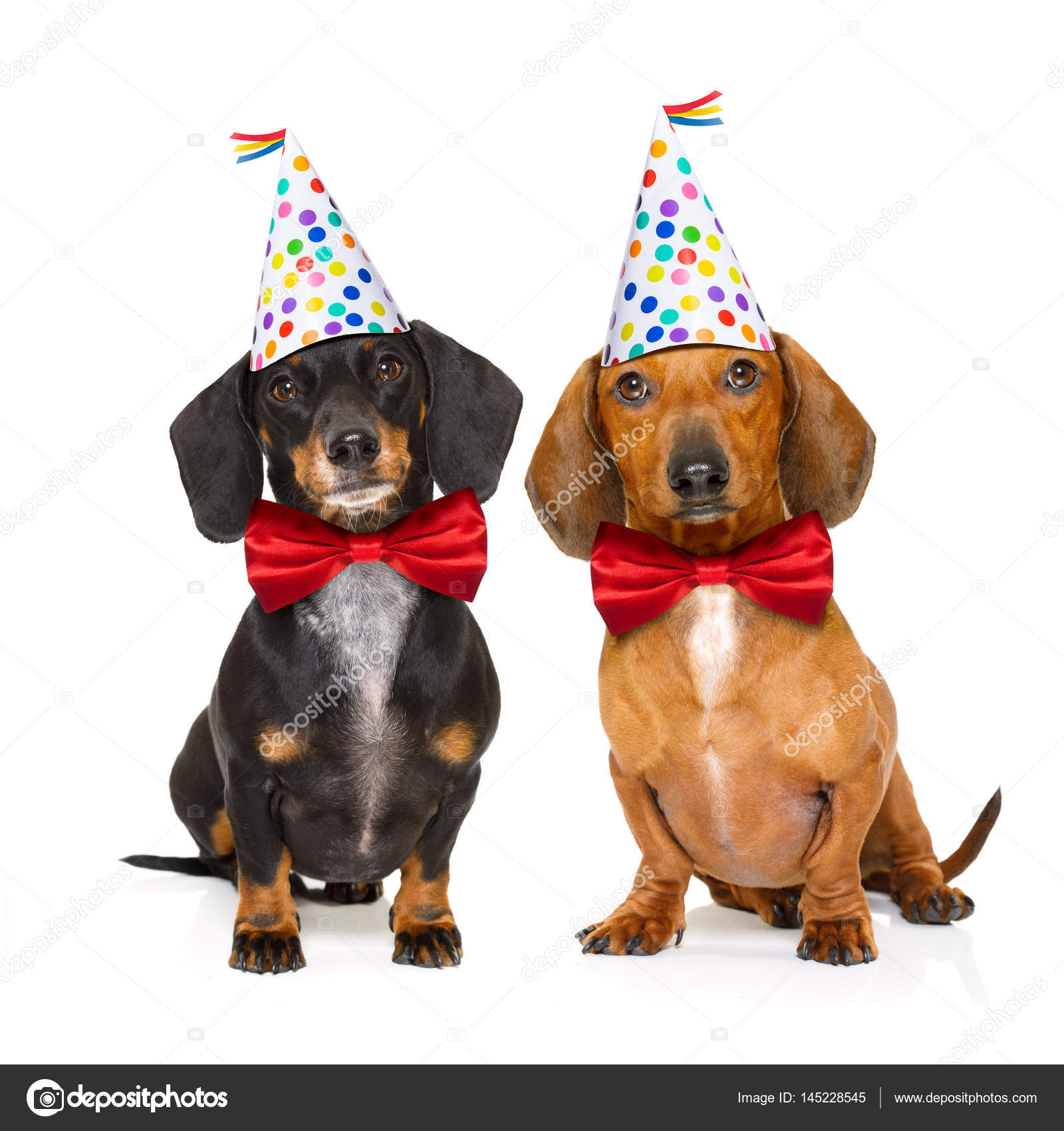 Několik dvou jezevčík nebo klobása psy hladoví po šťastné narozeninový dort  se svíčkami 43531f84ba