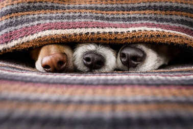 dogs under blanket together