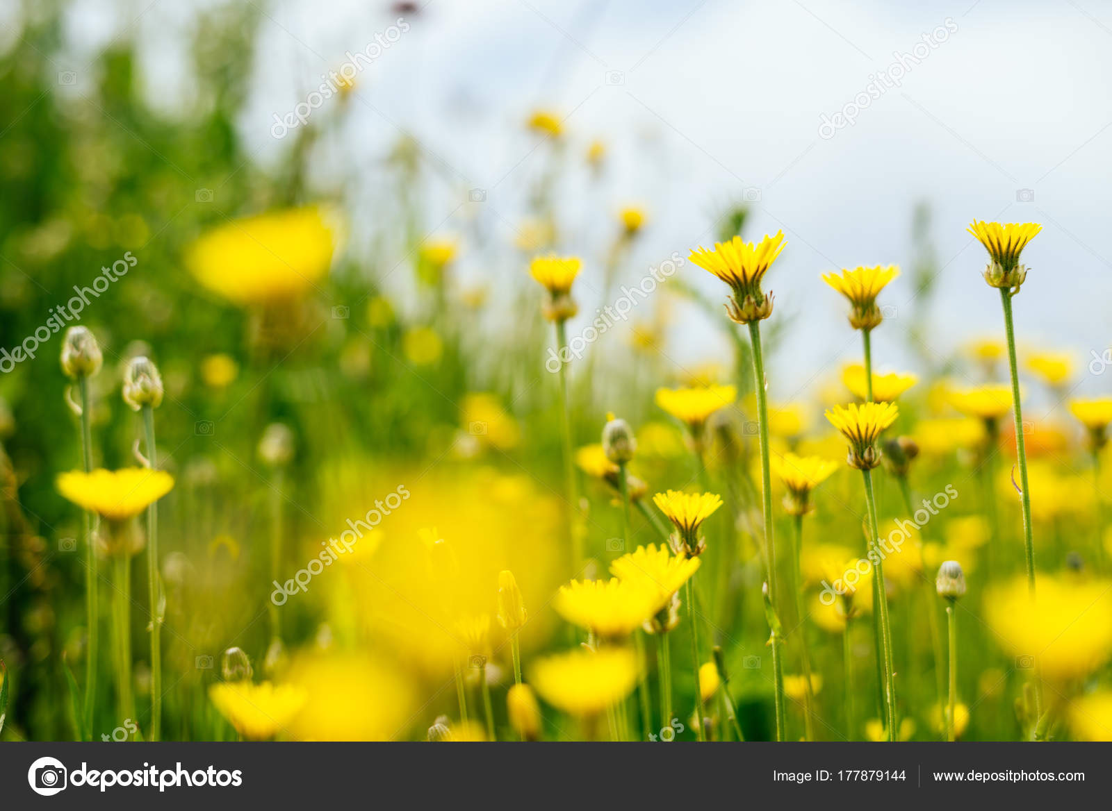 On The Endless Green Field Grow Yellow Fragrant Spring Flowers
