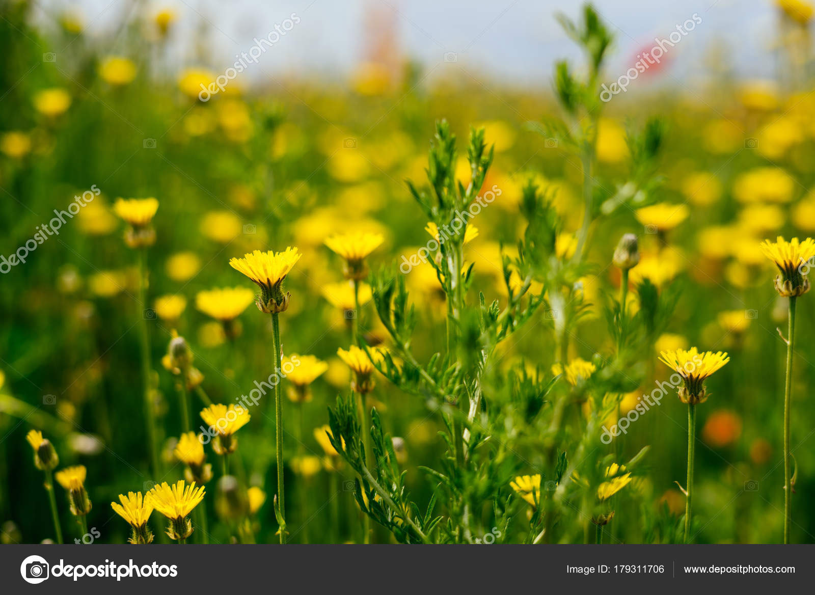 On The Endless Green Field Grow Yellow Fragrant Flowers Stock