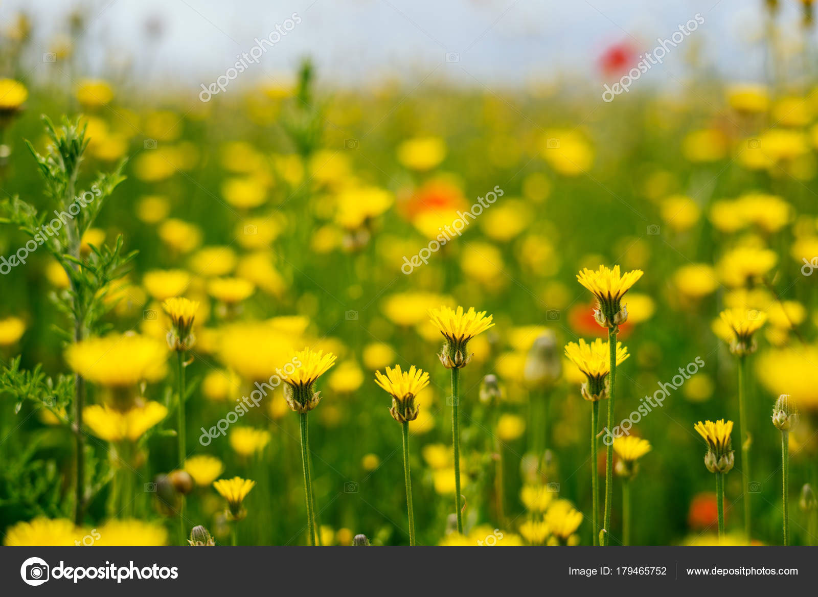 On The Green Endless Field Grow Yellow Fragrant Spring Flowers