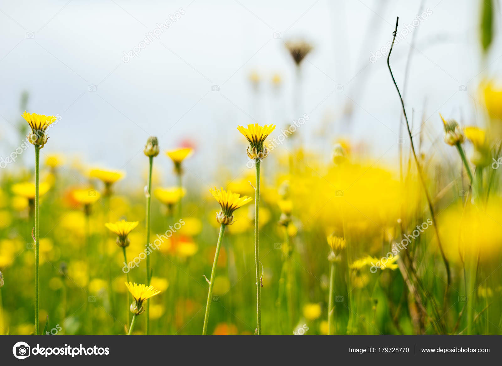 On The Endless Green Field Grow Spring Fragrant Yellow Flowers