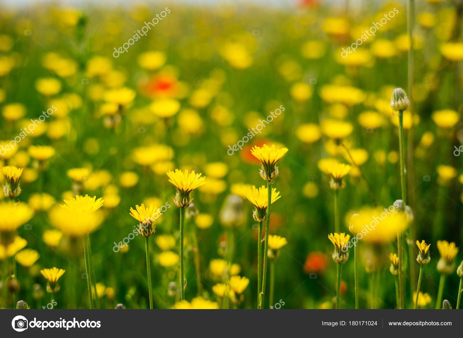 On The Endless Green Field Grow Fragrant Yellow Flowers Summer