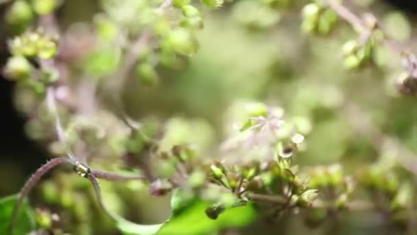 Ocimum tenuiflorum rostlina