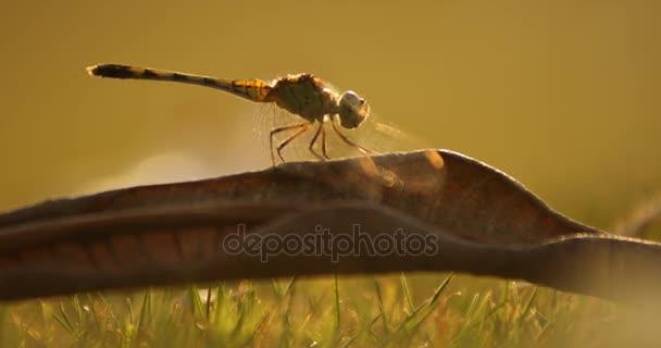 Dragon fly makro shot