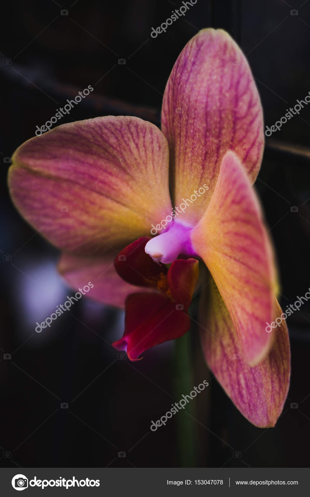Flowering House Plants Indoor Plants Stock Photo Myrlyandiya